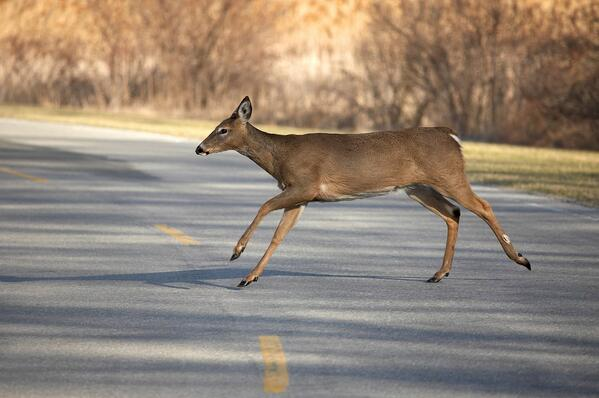 To swerve or not to swerve a deer